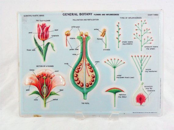 Vintage Scientific Educational Botany Flower Anatomy Chart Flower Anatomy Parts Of A Flower Flower Chart