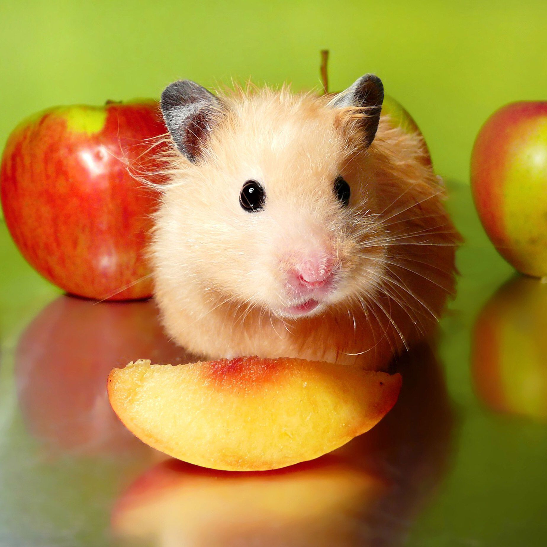 Pin By Grey On Adorable Animals Small Pets Hamster Pet Care