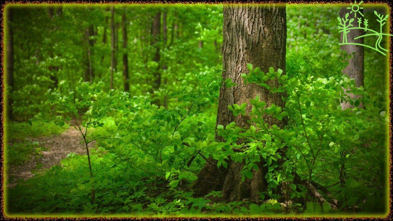 Беззаботный щебет зелёного леса - YouTube в 2020 г   Леса ...