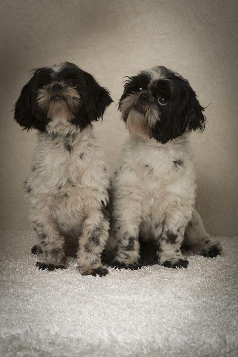 Shih Tzu Dog For Adoption In Weston Fl Adn 528553 On Puppyfinder