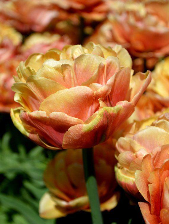 10 Double Orange Yellow Tulip Bulbs Bi Color Spring Flower Garden