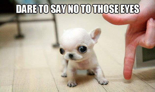 No One Can Say No To These Eyes Cute Animals Cute Dogs Tiny