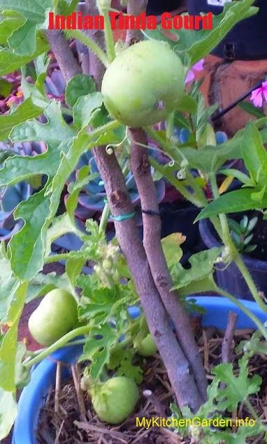 Potted Mango Tree Tip Pruned To Shape The Canopy After All The Fruit Was Harvested Looking Good Fruit Trees Container Gardening Fruit Trees In Containers