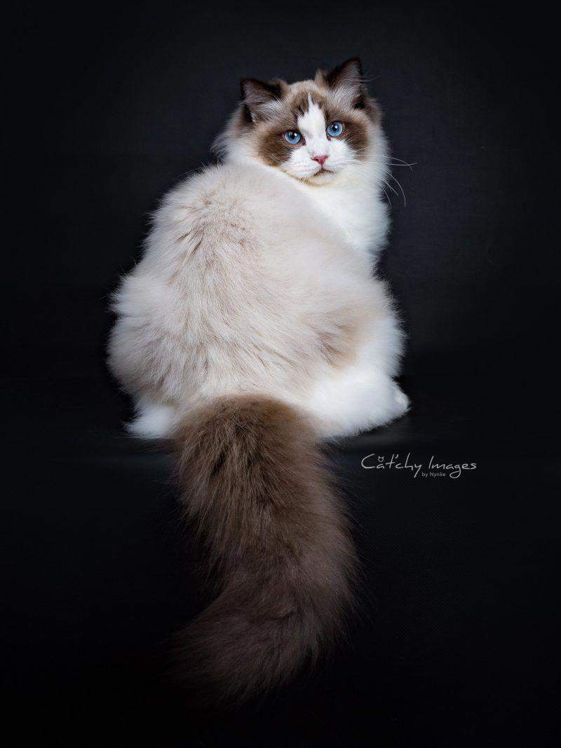 Ragdoll Ragdollcat Ragdoll Cat Cats Cute Cats