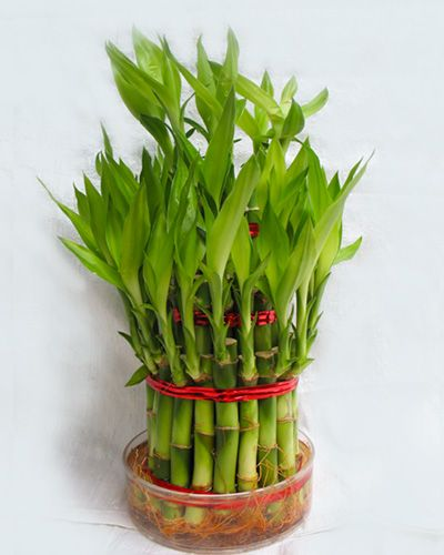 most of lucky bamboo feng shui are grown in water