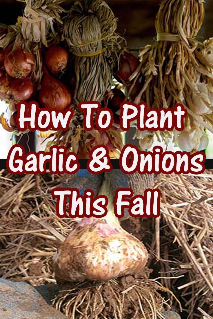 planting fall garlic and onions 4 simple tips to a great crop