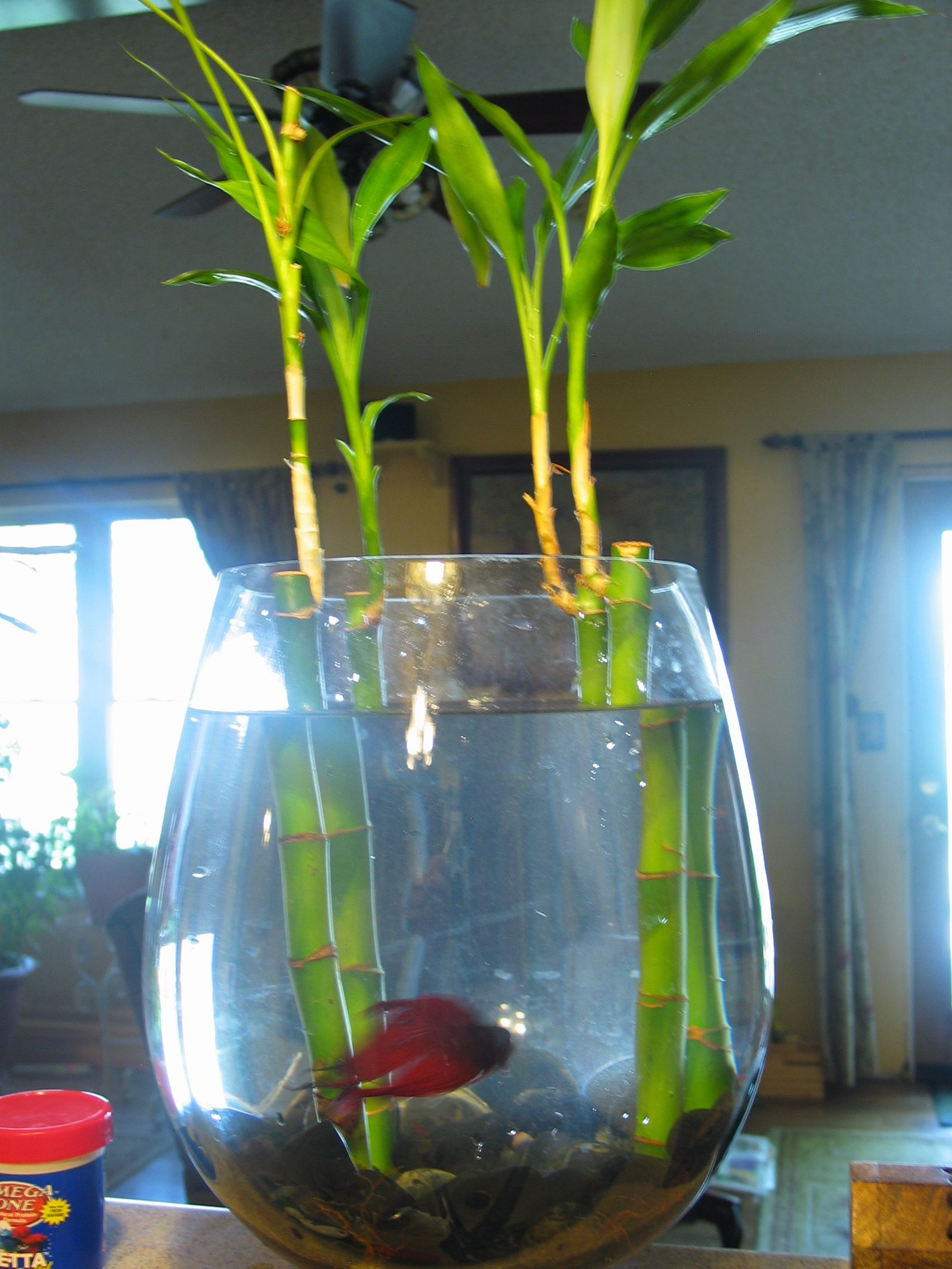 Beta or betta fish and bamboo living together beta fish for Caring for a betta fish in a bowl