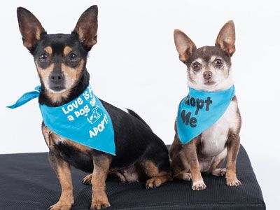 Chiweenie dog for Adoption in Pacific Grove, CA. ADN