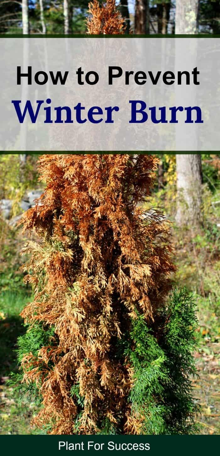 Yes, you can prevent winter burn on evergreen shrubs and ...