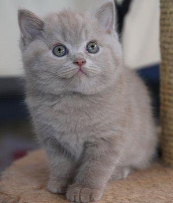 Descendants Kotoffski British Shorthair Cattery Kittens Cutest Cute Animals Kittens