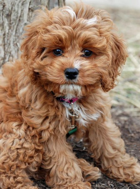 Many people having a dream of owning a Teddy Bear puppy