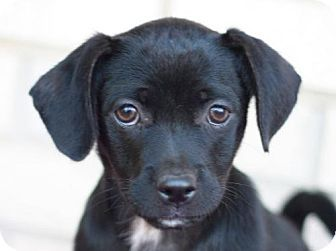 East Brunswick Nj Chihuahua Dachshund Mix Meet Keefer A Puppy For Adoption Http Www Adoptapet Com Pet 11698565 East B Pets Puppy Adoption Dachshund Mix