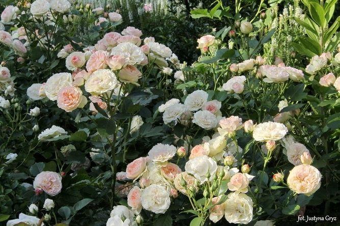 Znalezione obrazy dla zapytania pastella rose