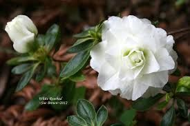 Image result for white rhododendron