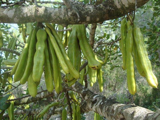 algarrobo arbol prosopis pallida fichas de semillas