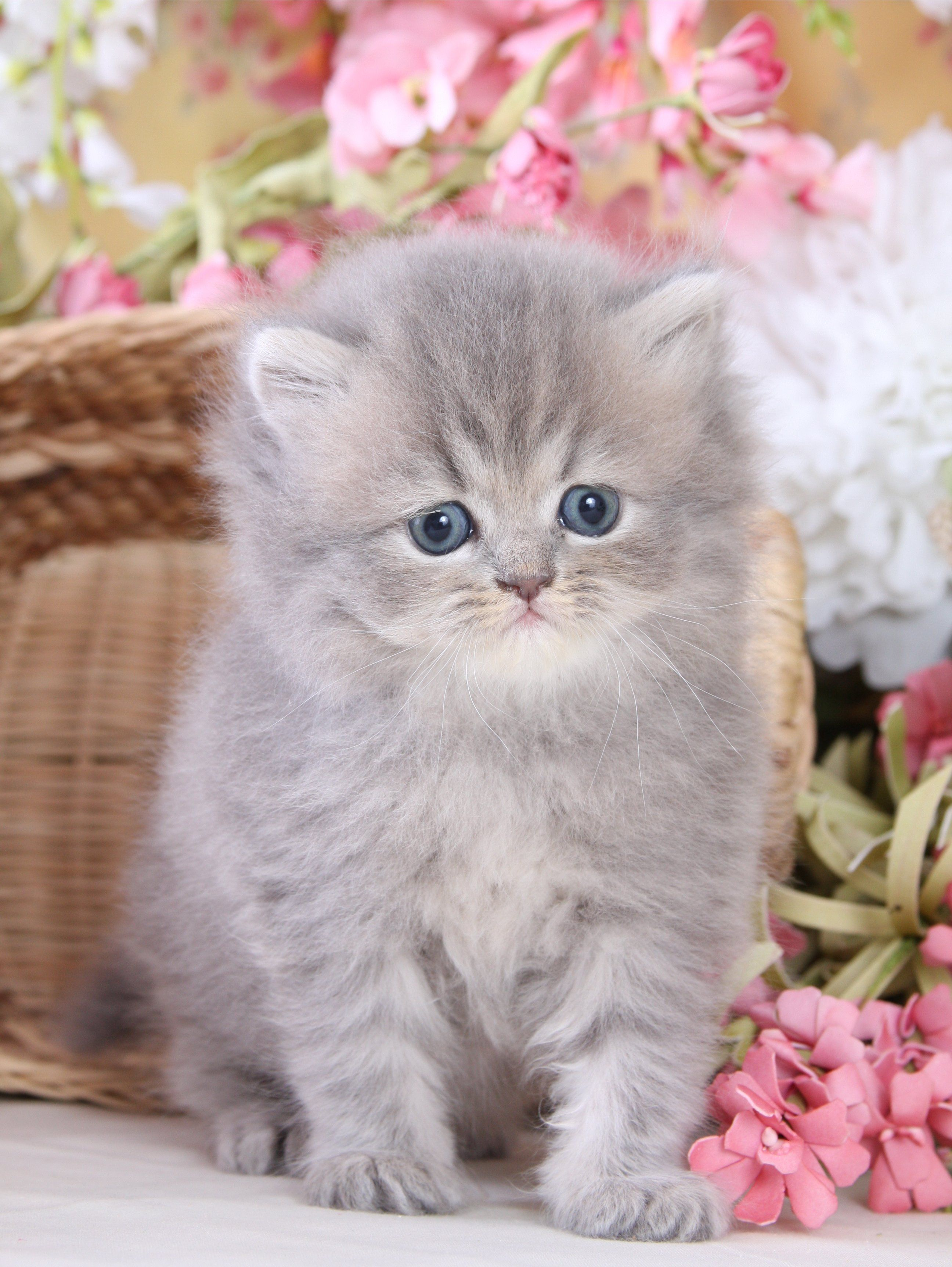teacup doll face persian kittens Car Tuning Teacup