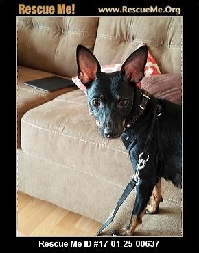 Florida Miniature Pinscher Rescue Adoptions Rescueme Org