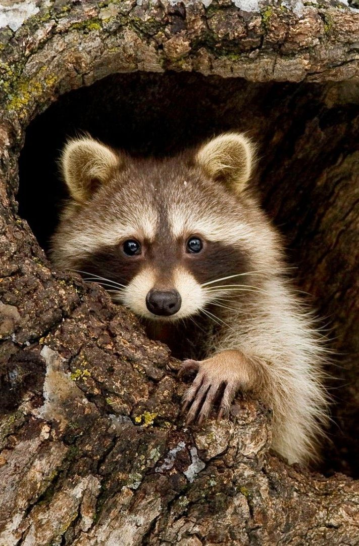 Pin by Brooke Porter on raccoons Animals wild, Animals