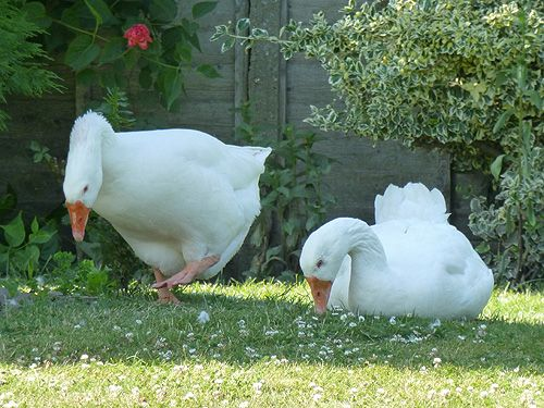 Two Geese having a gander at something