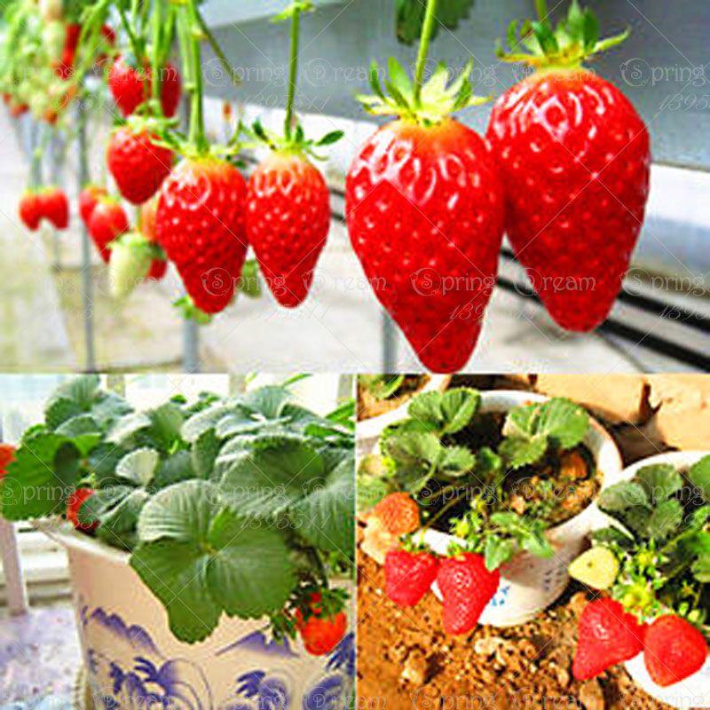 300Pcs Bag Climbing Strawberry Seeds Red Strawberry 400 x 300