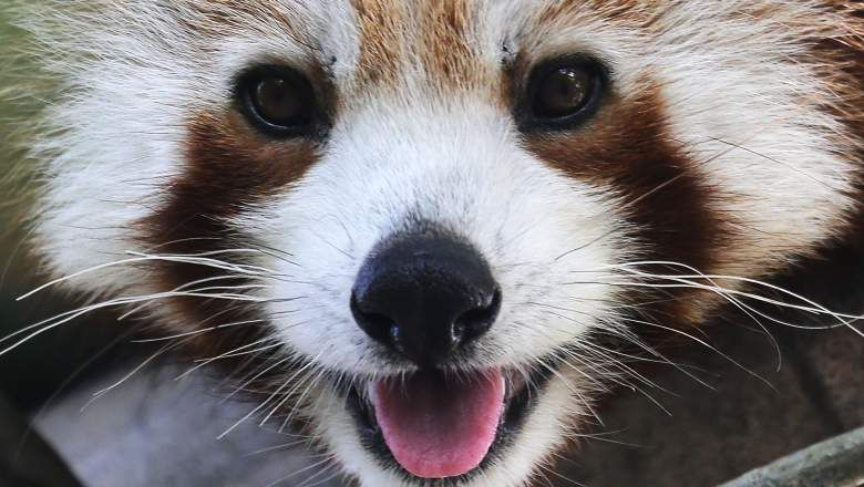 Red Panda Of The Month The Photos You Need To See Red Panda Animals Cute Animals