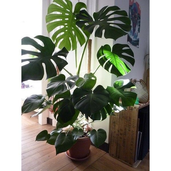 Grow tropical indoor plants liked on polyvore featuring for Planta tropical interior
