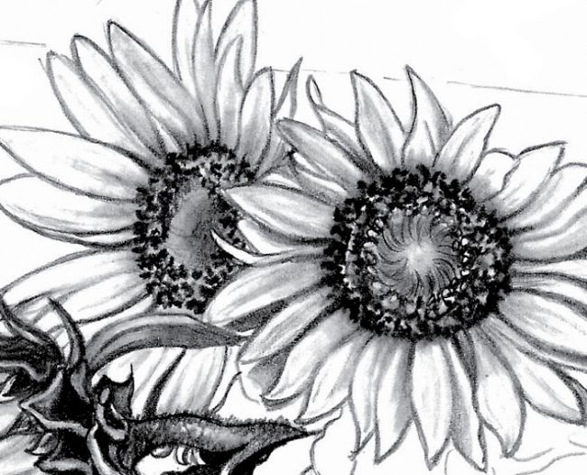 Drawings Of Sunflowers In Pencil how to draw sunflower ...