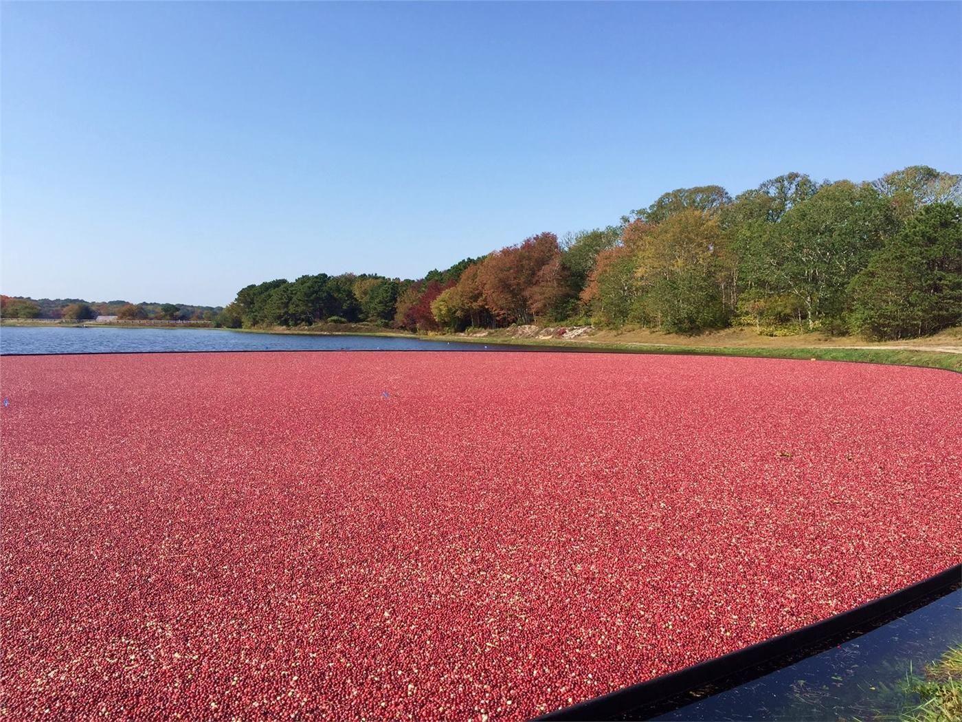Cape Cod Cranberry Harvests Fall 2020 Cape Cod Cranberry Cranberry Bog