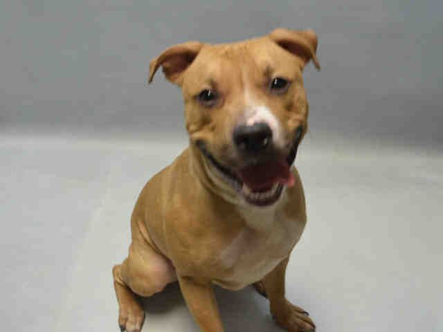 A1068719 Smokey MALE, TAN / WHITE, AM PIT BULL TER MIX, 6 mos OWNER SUR – ONHOLDHERE, HOLD FOR COURTESY Reason LLORDPRIVA  Intake condition EXAM REQ Intake Date 03/28/2016, From NY 11434, DueOut Date 03/28/2016, I came in with Group/Litter #K16-051743.