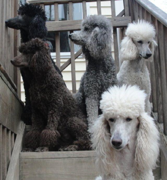 Alexander Poodles Poodle Family Poodle Standard Poodle Kennel