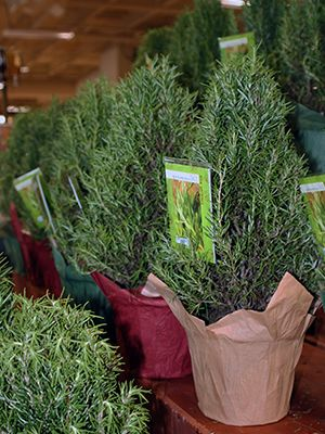 A useful and delicious holiday gift, rosemary plants shaped to look like Christmas trees require ...