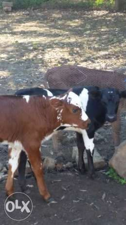 Calves for sale Bapsfontein - image 1 | LIVESTOCK | Calves