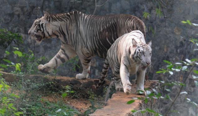 pseudo melanistic tiger