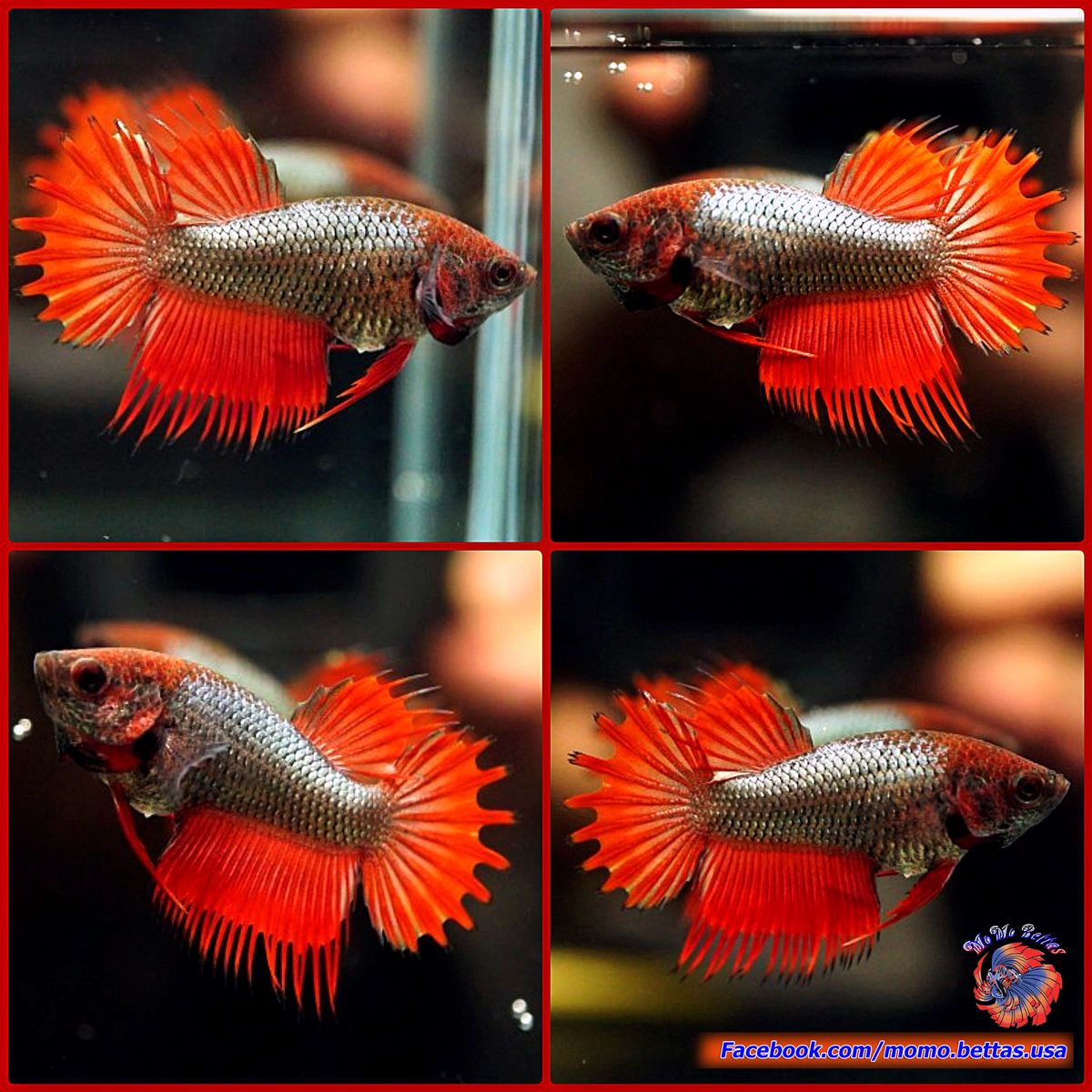 Rare live betta fish female red masked copper super red for Buy betta fish