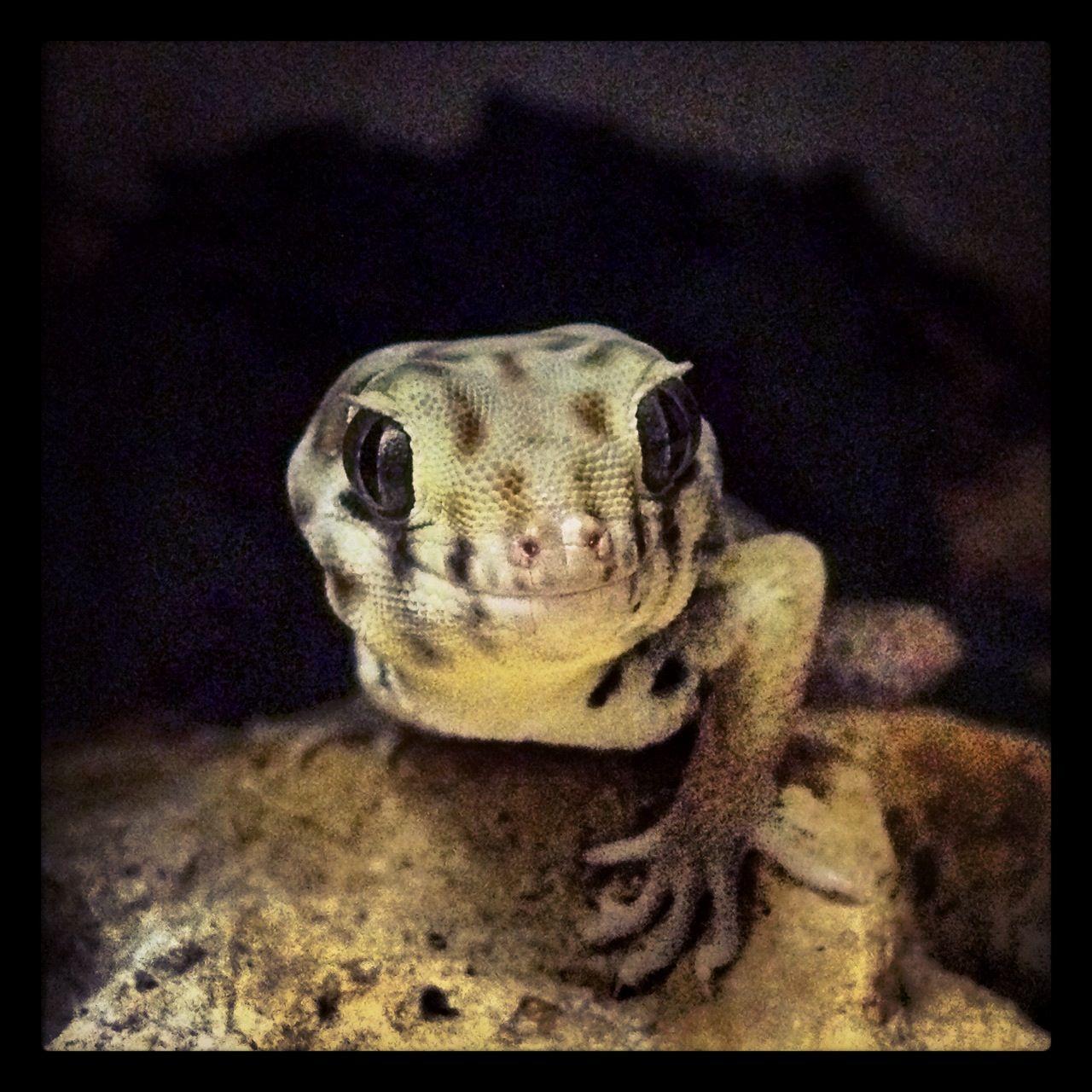 Frog Eyed Gecko With Images Amphibians