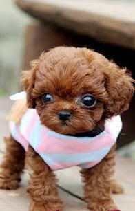 Teacup poodle: I WILL have one of these one day. Cutest animals ever.That looks so cute.Please check out my website thanks. www.photopix.co.nz #puppiescutest #cuteteacuppuppies