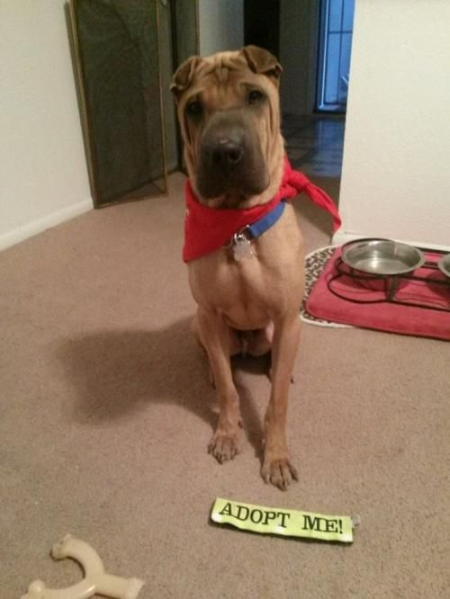 Meet Boss, a Petfinder adoptable Shar Pei Dog | Tempe, AZ | Boss is a 1 year old horse coat male. He has been neutered and looking for his forever home! He is...
