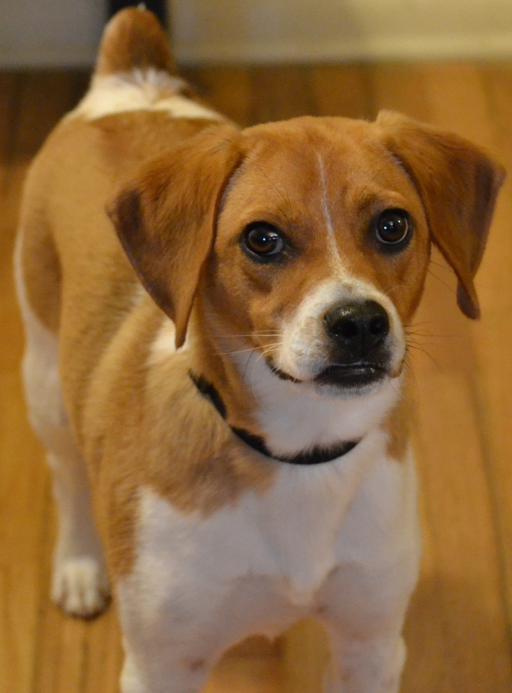 Jack Russell Beagle Mix Looks Like My Buddy Jack Russell