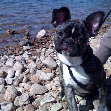 Pug Boston Terrier French Bulldog Mix Cute Animals Pugs French