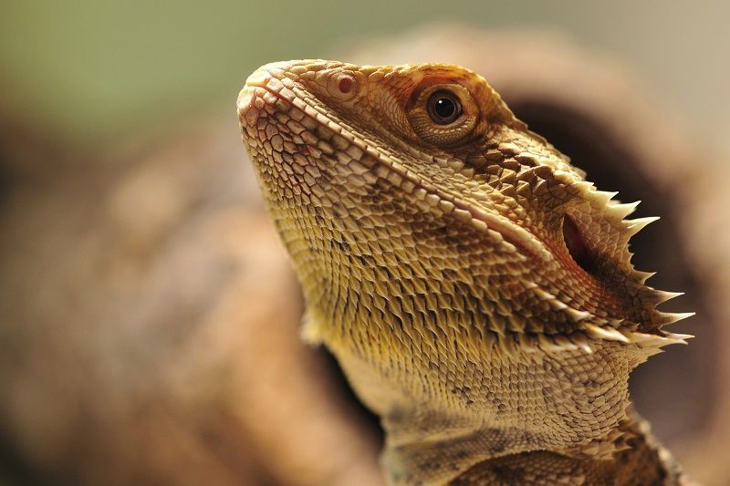 Ultimate Bearded Dragon Care Guide & Checklist Petbarn