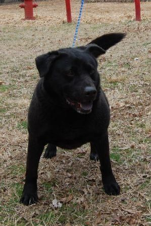 Patitus Is An Adoptable Labrador Retriever Searching For A Forever