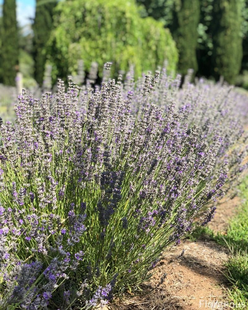 Fascinating Meaning And Symbolism Of Lavender Flower Florgeous In 2020 Lavender Flowers Planting Flowers Lavender Meaning