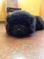 Adopt Princess On Black Chow Chow Puppies Chow Chow Dogs Black