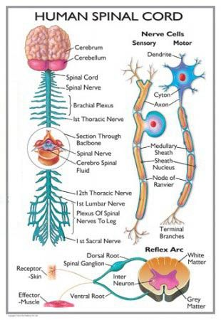 Spinal Cord Diagram - Health, Medicine and Anatomy Reference Pictures
