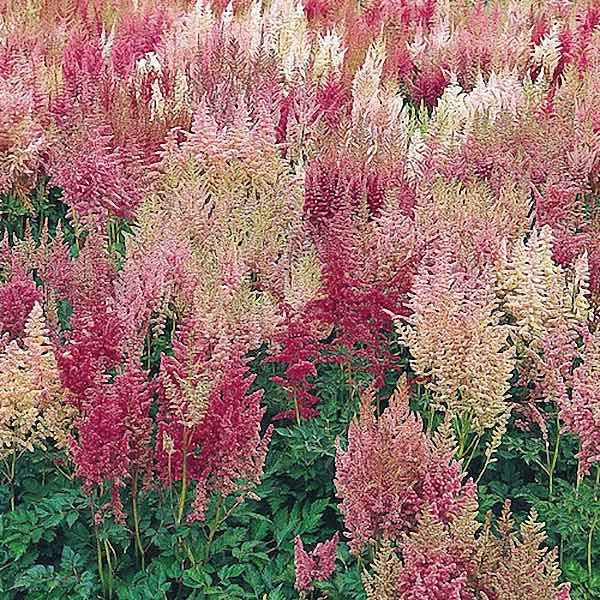 Tips On Feeding Astilbe Learn About Fertilizer For Astilbe Plants Clematis Plants Astilbe Shade Flowers