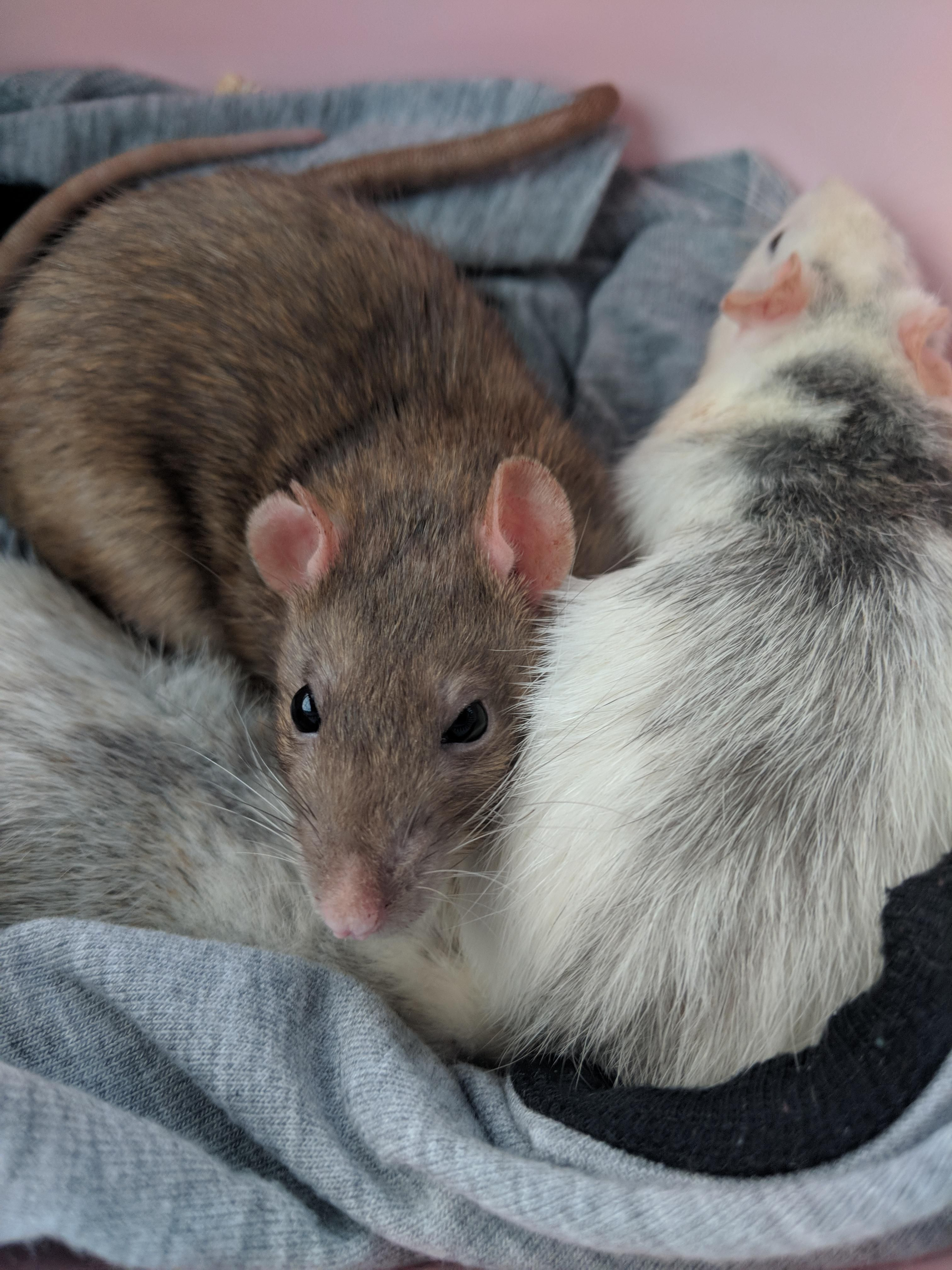 New Additions To The Family Aww Cute Rat Cuterats Ratsofpinterest Cuddle Fluffy Animals Pets Bestfriend Ittssofluff Pet Rodents Cute Rats Small Pets