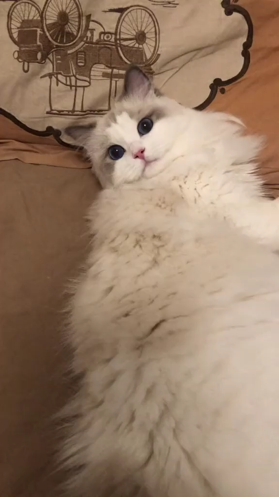Is A Ragdoll Cat Hypoallergenic Do They Cause Cat Allergies