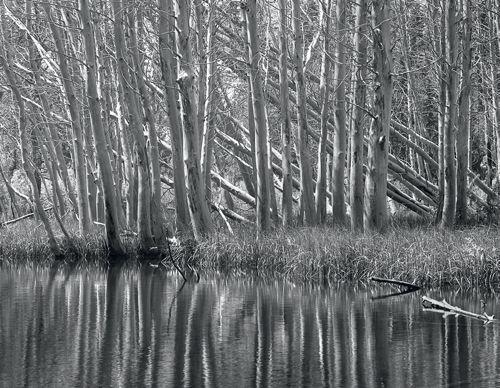 """Ghost Aspen Forest"""