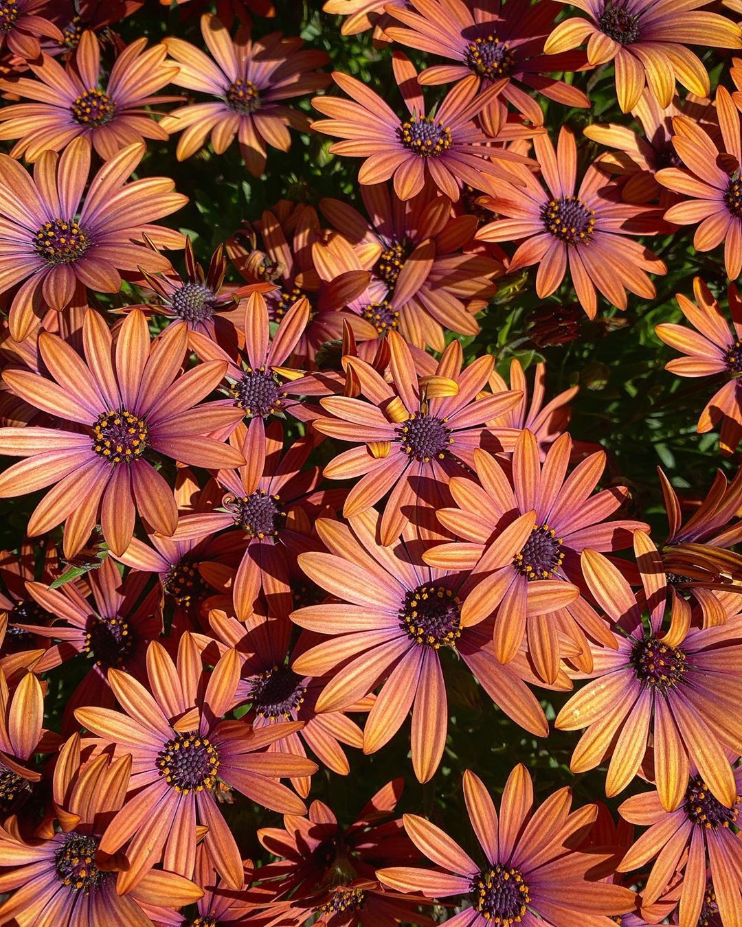 Serenity Bronze  a bit of colour to break up all the green I absolutely love these daisies and have lots of them in my garden The variety of colours of these osteospermum...