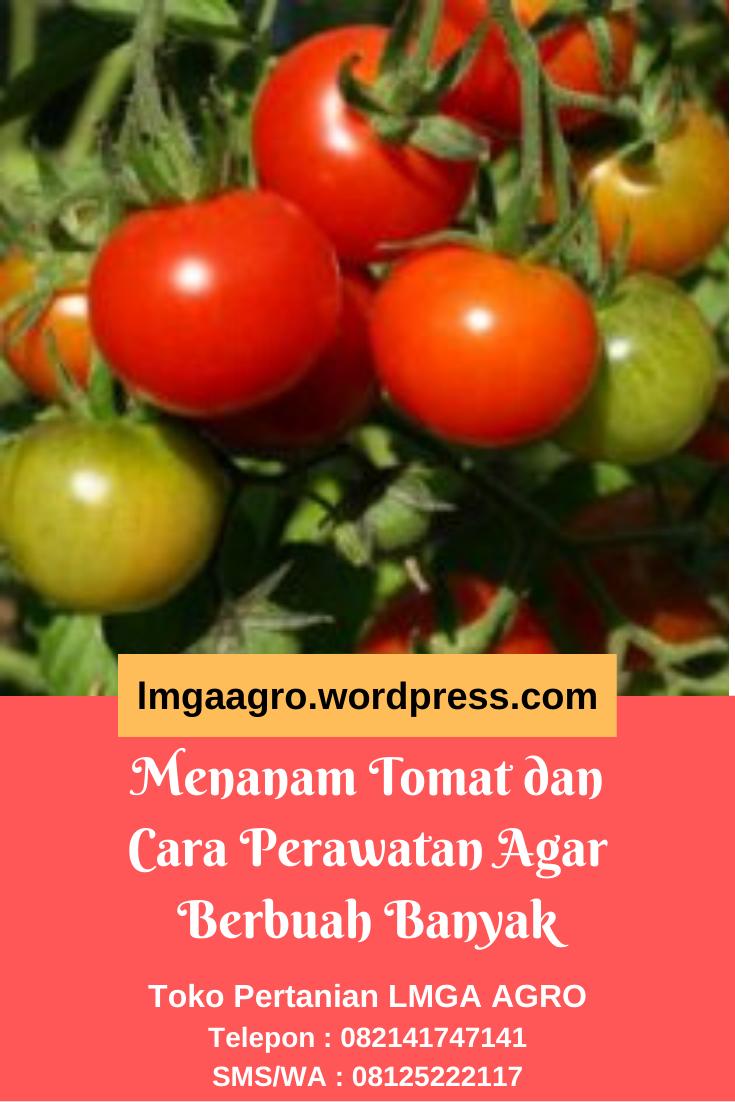 Menanam Tomat Dan Cara Perawatan Agar Berbuah Banyak Tanaman Tomat Tomat Menanam